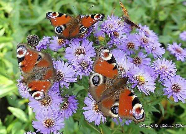 Foto vlinders Sellingen