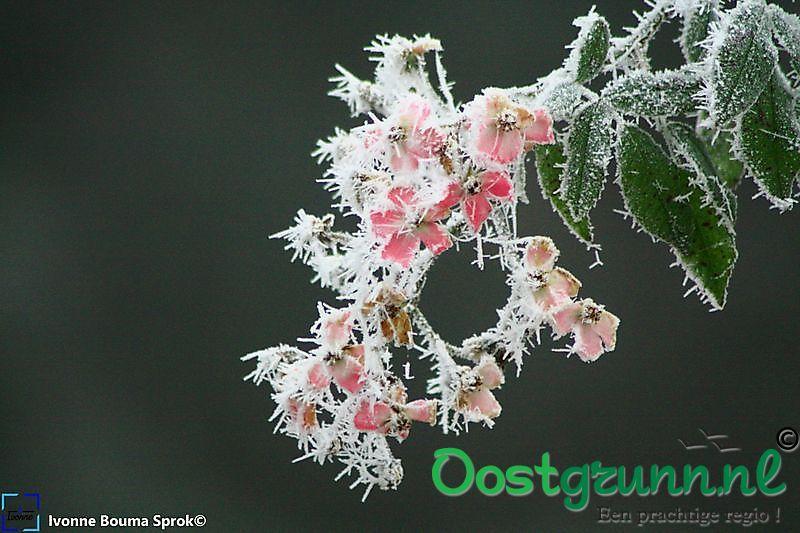 Roze bloemen met rijp Winschoten