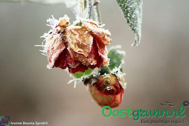 Roos met rijp Winschoten