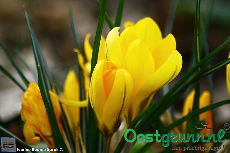 bonte krokus geel Winschoten