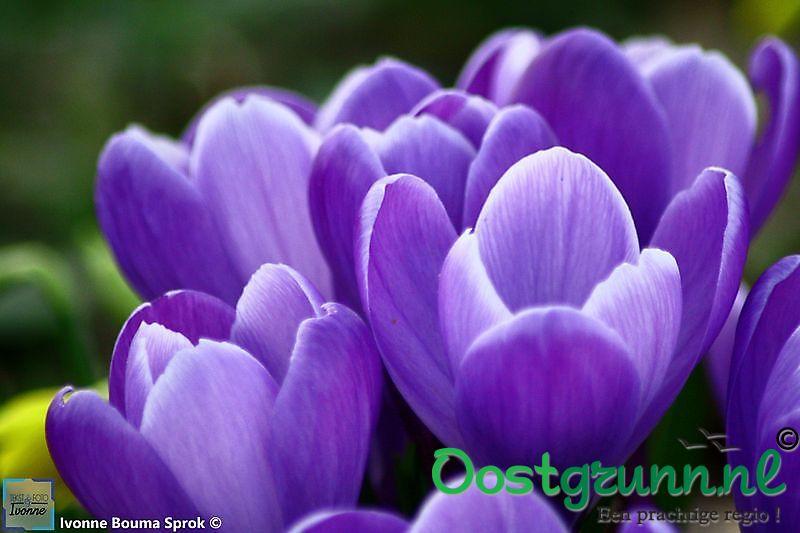 bonte krokus paars Winschoten