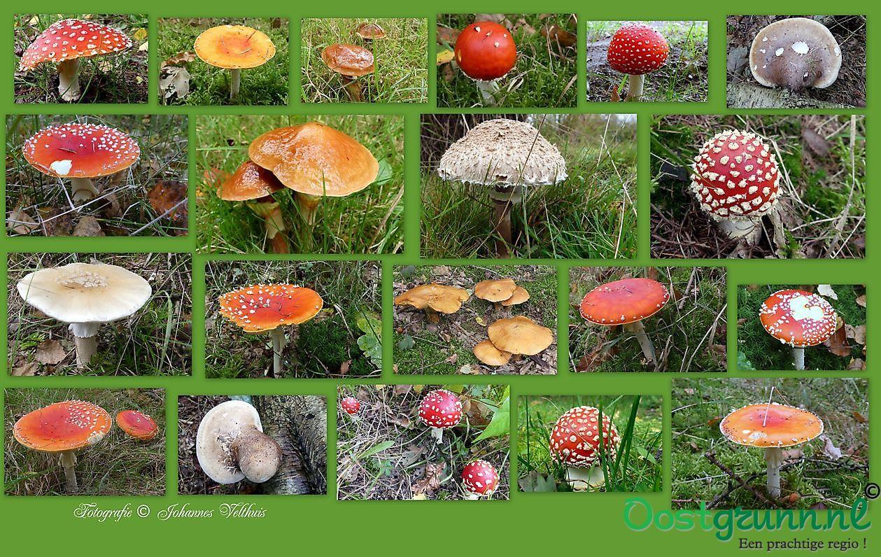 paddenstoelen Sellingen