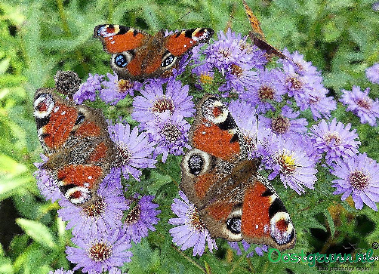 vlinders Sellingen