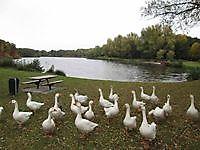 Bedelende ganzen op zoek naar eten Winschoten, Oldambt