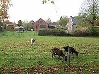 Grazende geitjes langs de vestingwal Oudeschans, Oldambt