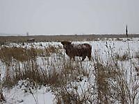 Schotse hooglander in de sneeuw Beerta, Oldambt