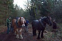 Sleep paarden voor omgehakte bomen Sellingen, Westerwolde