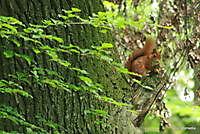 Eekhoorn Ter Apelbossen Ter Apel, Westerwolde