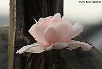 Roos met regendruppels Winschoten, Oldambt