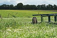 lelie veld Ter Apel, Westerwolde