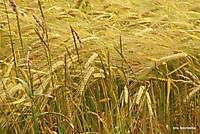 graanveld Ter Apel, Westerwolde