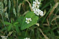 Veldbloemen ; Blad in Hartvorm Winschoten, Oldambt