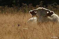 koe in de wei 't Heem, Aa en Hunze