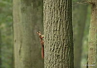 eekhoorntje Ter Apel, Westerwolde