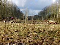 Populieren bos gaat tegen de vlakte Bellingwolde, Bellingwedde