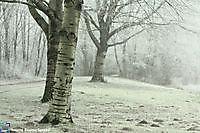 Berkenbomen Winter in het park Winschoten, Oldambt