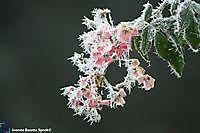 Roze bloemen met rijp Winschoten, Oldambt
