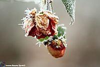 Roos met rijp Winschoten, Oldambt