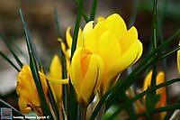 bonte krokus geel Winschoten, Oldambt