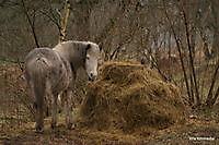 paard Ter Apel, Westerwolde