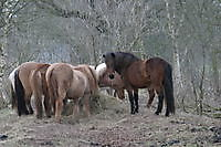 paarden Ter Apel, Westerwolde