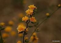gele bloemtjes Ter Apel, Westerwolde