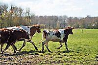 koeien voor het eerst naar buiten finsterwolde Finsterwolde, Oldambt