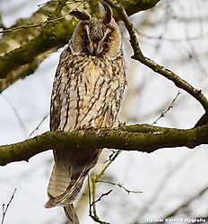 3 uilen in een boom Bellingwolde, Westerwolde