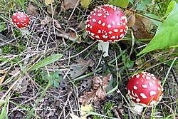 paddenstoelen Borgerveld, Vlagtwedde
