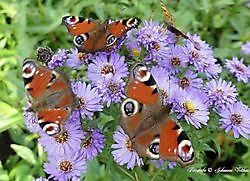 vlinders Sellingen, Vlagtwedde